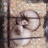 2匹の♂♀仲良しフェレットちゃんです(1匹でも可)