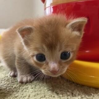 ★里親急募★生後約1ヶ月/きなこ色の可愛い子猫♀