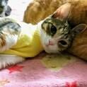 ナツコイ美猫のひまわりちゃん