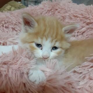 t茶トラのオス猫です生後2か月
