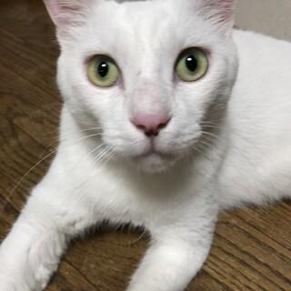 大きな白猫♪ヒデくん