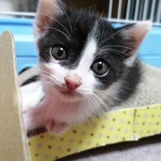 癒しのハチワレ猫ハリス君1ヶ月