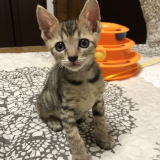 ミルクから育てた 甘えん坊な子猫