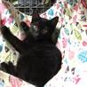 人気の黒猫の子猫ちゃん♪
