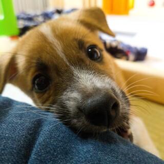 子犬パワー全開っ!!『ドン君』1.5ヶ月