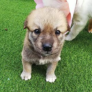 ★コロコロ可愛い仔犬『くーちゃん』女の子★