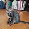 太い縞のキジトラ ♪ きいちゃん 4ヵ月半 サムネイル6