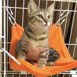 キジトラ 子猫♀くるみ 推定3〜4ヶ月