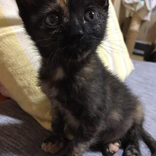 キュートなサビ猫、とまとです