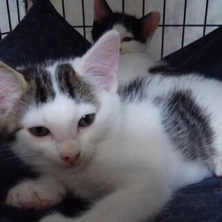 仲よしの兄妹子猫チックとタック2か月