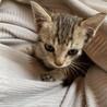 キジトラの子猫ちゃんです