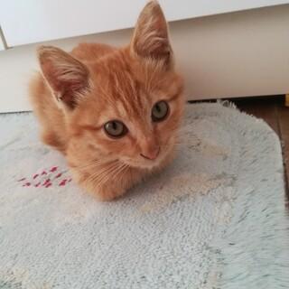 美猫!茶トラ♀人懐っこい子猫