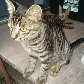 キジトラちゃん2匹の里親さまを募集しています。
