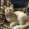 【去勢済】美顔のやんちゃな男の子猫です