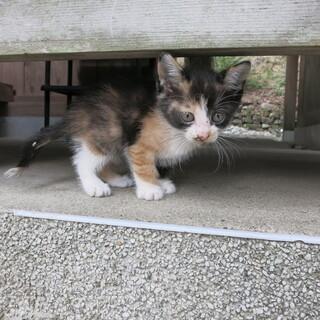 三毛猫の女の子の飼い主を探しています。