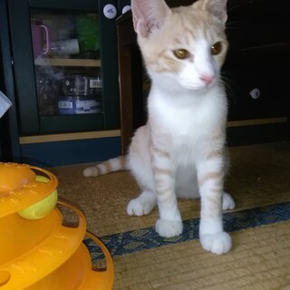 活発で何でもオモチャにして遊び元気過ぎる子猫!