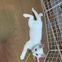 甘えん坊な美にゃん♡白猫ちゃん♡