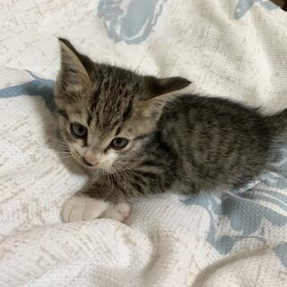 キジトラの子猫「福ちゃん!」
