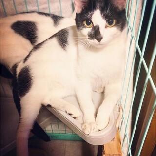 白黒歌舞伎美猫 器量良しで大人気 鳴きちゃん