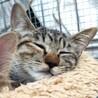 シャイな美猫 鈴ちゃん♪ムギワラ子猫2ヶ月半