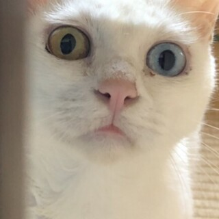 白猫 2歳前後 オッドアイ