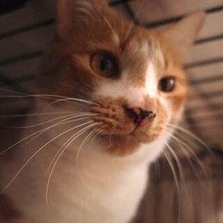 【多頭崩壊レスキュー】美声猫「トモ」