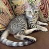 とても可愛い美形サバトラの子猫