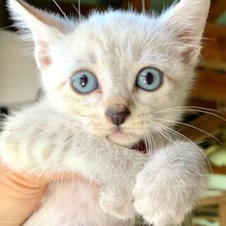 Kcat-M967 綺麗なシャム系の子猫ちゃん♪