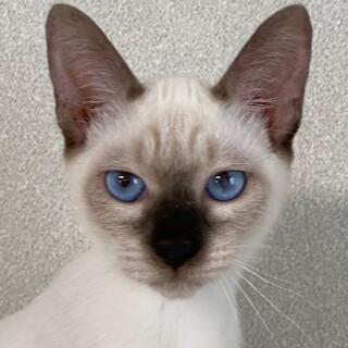 青い瞳!美人猫!甘えん坊!