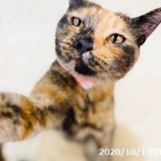 2歳 明るめサビ猫 マロンちゃん
