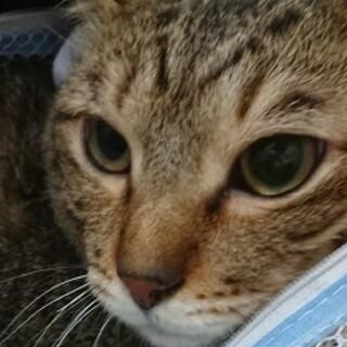 2歳半 フレンドリーなキジ猫 ケンケン君