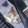 【保護猫】猫かぜに負けず元気な子猫1★茶白