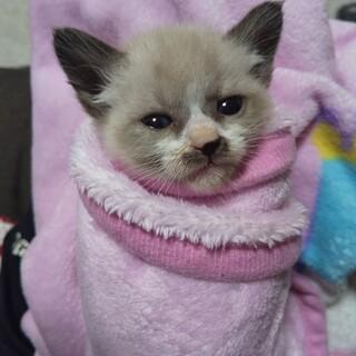 シャムmix子猫