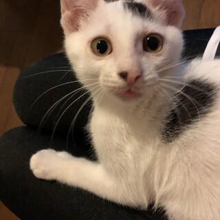 【しろたま】おっとりマイペースな白地黒斑柄子猫