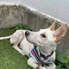【トゥン】大きなお耳が可愛い人馴れ訓練中の女の子 サムネイル2