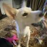 【トゥン】大きなお耳が可愛い人馴れ訓練中の女の子 サムネイル5