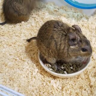 保護デグーマウス 一匹