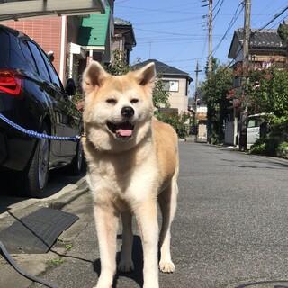 とっても穏やかなシニアの秋田犬、歌ちゃん