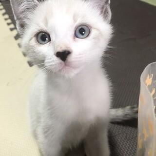 元気いっぱい✩ 生後2ヶ月の仔猫