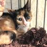 三毛猫の、ミケにゃん♪ 美人猫 女の子