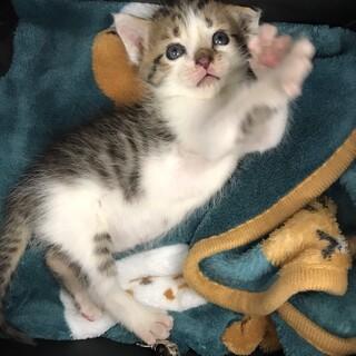 キジトラ子猫貰い手募集