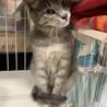グレーのトラ 美猫さんです