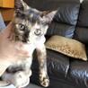 仔猫姉妹三か月 さびちゃんと珍しい色のこげ茶ちゃん