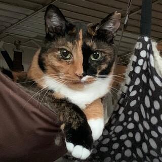色も模様も美しい三毛猫サチ♪