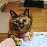 くりくり目の美人さん♡賢くて優しいサビ猫ちゃんです