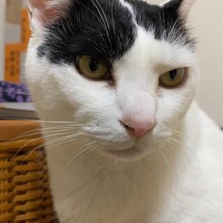 【助けて】雑種白多めの白黒猫ちゃん