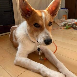 お耳がキュートなシャイボーイ もしもしくん8ヶ月♂
