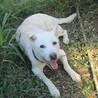 ラブ雑・温厚で人に寄り添う大人しい老犬 サムネイル6