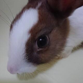 大至急!ミニウサギ