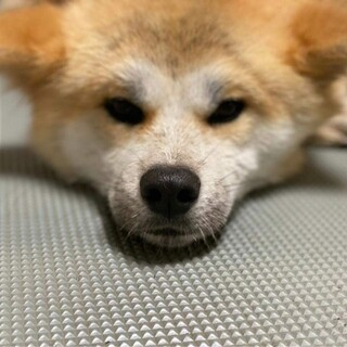臆病で寂しがりやの秋田犬、茜ちゃん♀1歳
